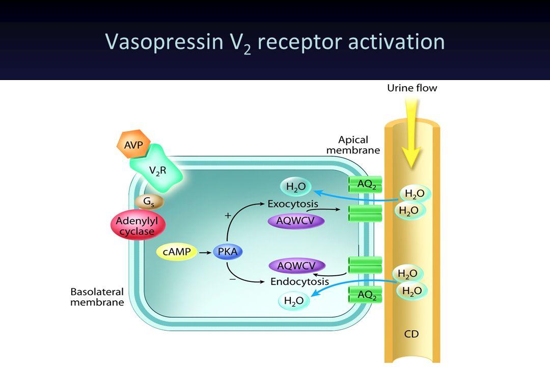 Vasopressin V 2 receptor activation Free water resorbtion