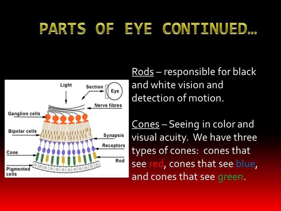 Vision The eye is a convex lens Retina Lens refracts light to converge on the retina and then nerves transmit the image Rods Nerve cells in the retina