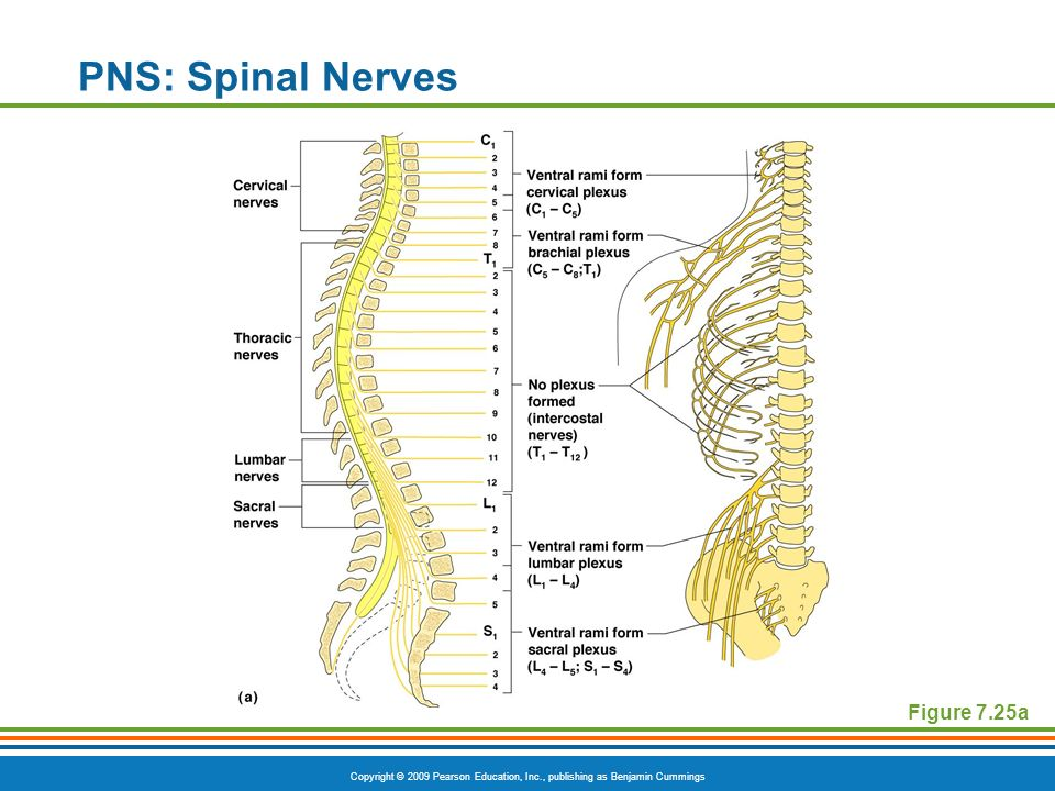 Copyright © 2009 Pearson Education, Inc., publishing as Benjamin Cummings PNS: Anatomy of Spinal Nerves Spinal nerves divide soon after leaving the spinal cord Dorsal ramiserve the skin and muscles of the posterior trunk Ventral ramiform a complex of networks (plexus) for the anterior