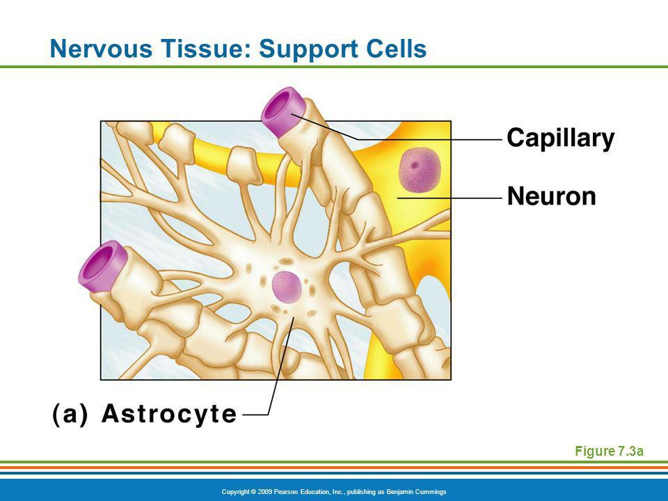 Copyright © 2009 Pearson Education, Inc., publishing as Benjamin Cummings Nervous Tissue: Support Cells Figure 7.3a