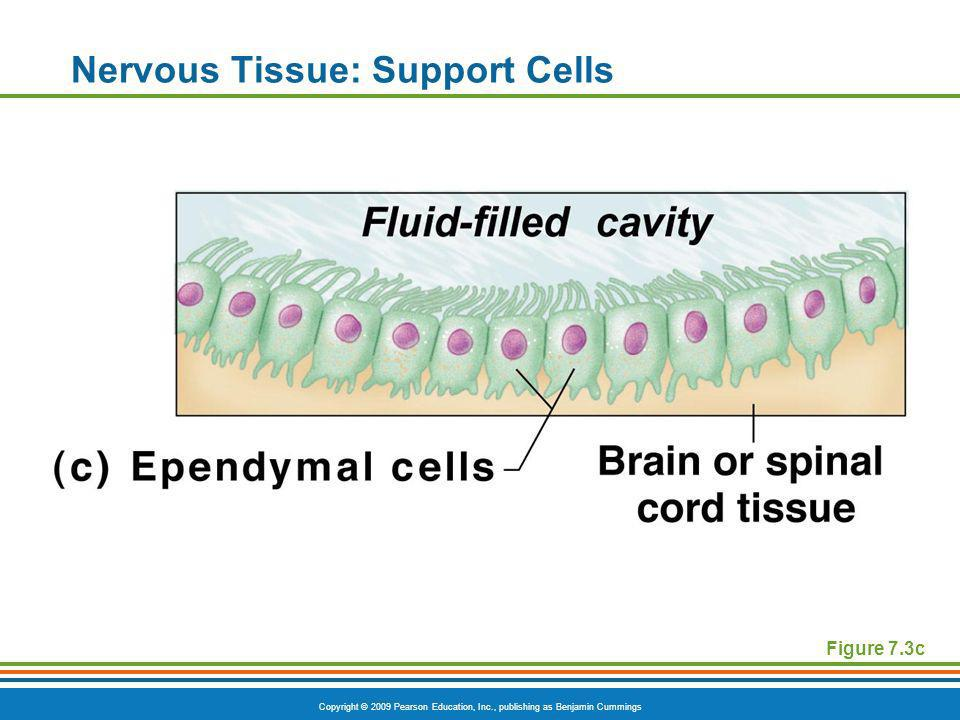 Copyright © 2009 Pearson Education, Inc., publishing as Benjamin Cummings Nervous Tissue: Support Cells Figure 7.3c