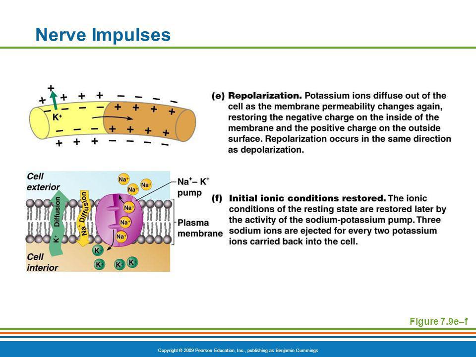 Copyright © 2009 Pearson Education, Inc., publishing as Benjamin Cummings Nerve Impulses Figure 7.9e–f