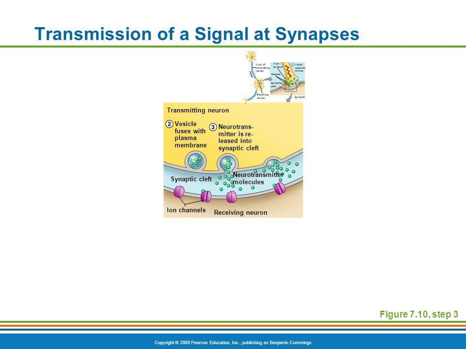 Copyright © 2009 Pearson Education, Inc., publishing as Benjamin Cummings Transmission of a Signal at Synapses Figure 7.10, step 3 Axon terminal Vesic