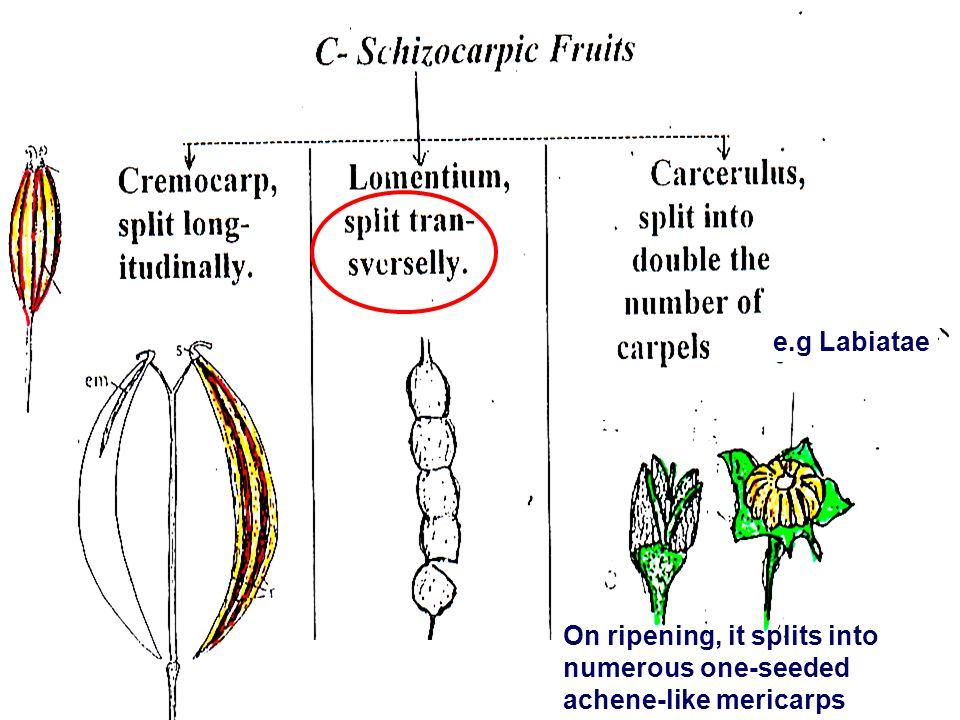 On ripening, it splits into numerous one-seeded achene-like mericarps e.g Labiatae
