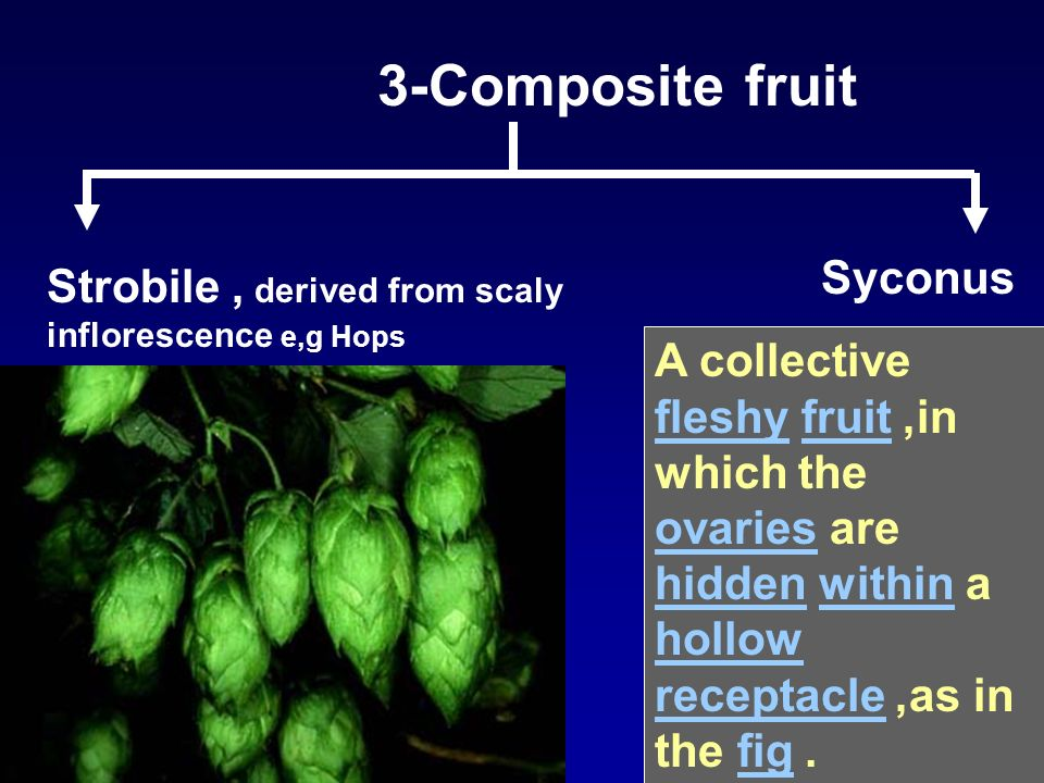 3-Composite fruit Strobile, derived from scaly inflorescence e,g Hops Syconus A collective fleshy fruit, in which the ovaries are hidden within a holl