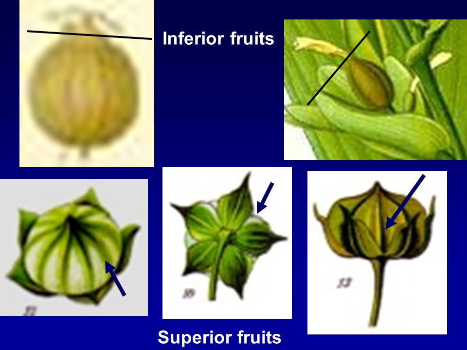 Split along the middle septa Split along the middle line of each locule As 1/or 2 but seeds remain attached to central axis Capsule Split along middle septa Split open into locules As 1 or 2 but seeds remain
