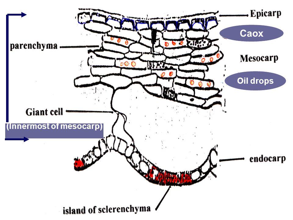 (Innermost of mesocarp) Oil drops Caox