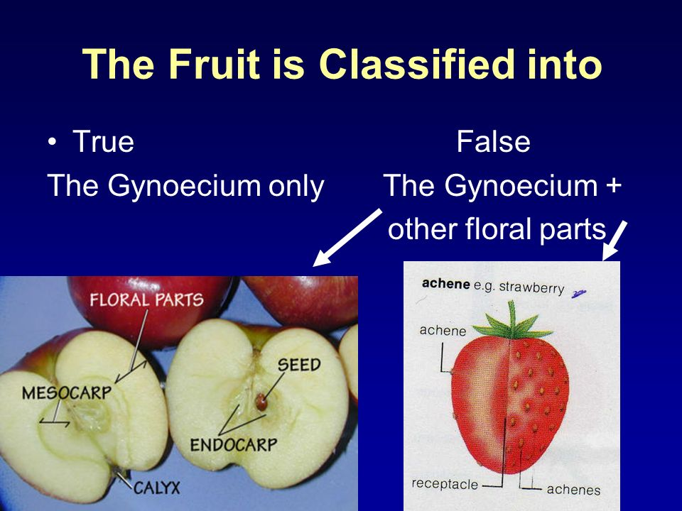 True Fruits Derived from single ovary of one or more united carpels e.g Fennel Derived from apocarpo us ovary (separate carpels) e.g Star anise Simple Aggregate Composite (compound) Formed from the whole inflorescence e.g Mullberry شجرة التوت