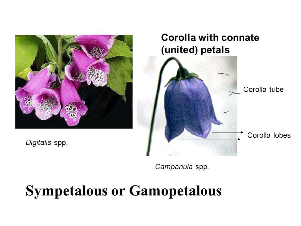 Corolla with connate (united) petals Corolla tube Corolla lobes Digitalis spp. Campanula spp. Sympetalous or Gamopetalous