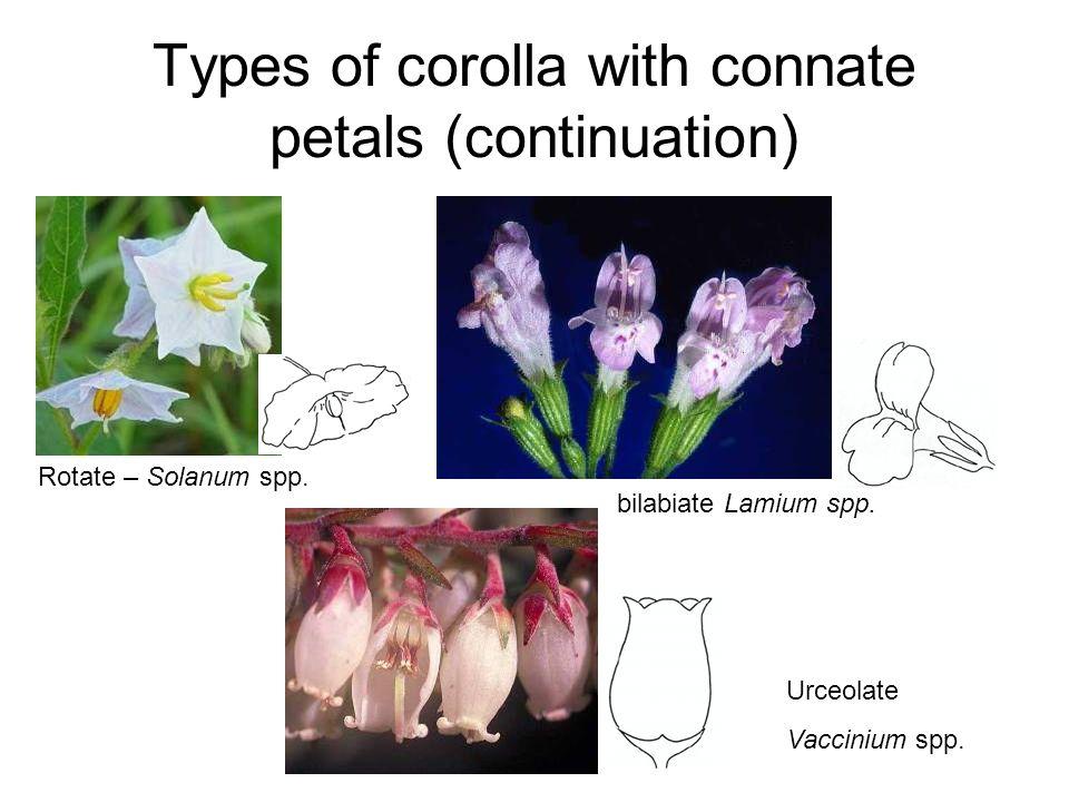 Types of corolla with connate petals (continuation) Rotate – Solanum spp. bilabiate Lamium spp. Urceolate Vaccinium spp.