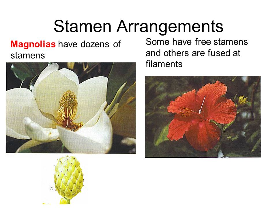 Stamen Arrangements Magnolias have dozens of stamens Some have free stamens and others are fused at filaments