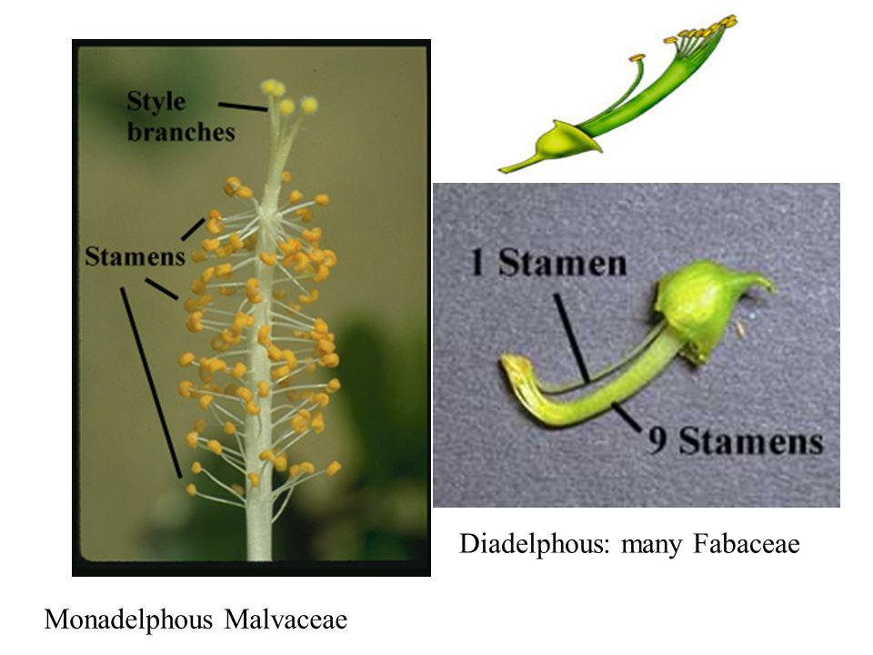 Monadelphous Malvaceae Diadelphous: many Fabaceae