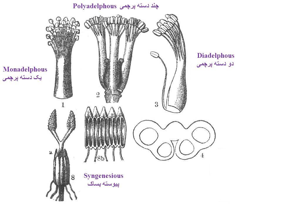 Monadelphous یک دسته پرچمی Polyadelphous چند دسته پرچمی Syngenesious پیوسته بساک Diadelphous دو دسته پرچمی