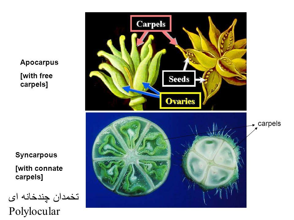 carpels Apocarpus [with free carpels] Syncarpous [with connate carpels] تخمدان چندخانه ای Polylocular