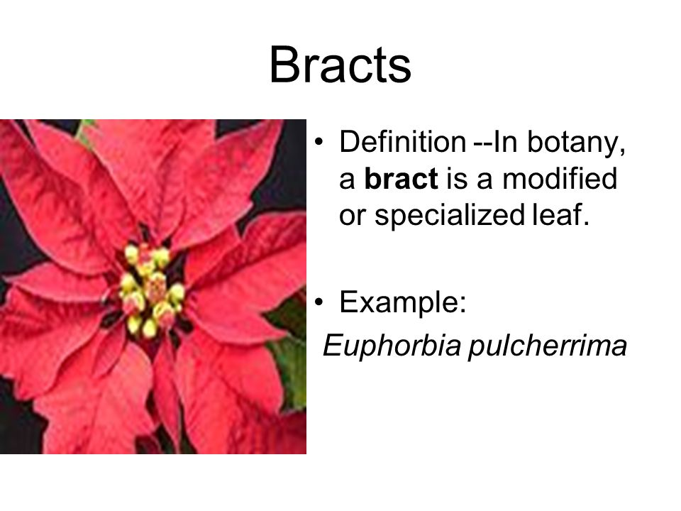 Bracts Definition --In botany, a bract is a modified or specialized leaf. Example: Euphorbia pulcherrima