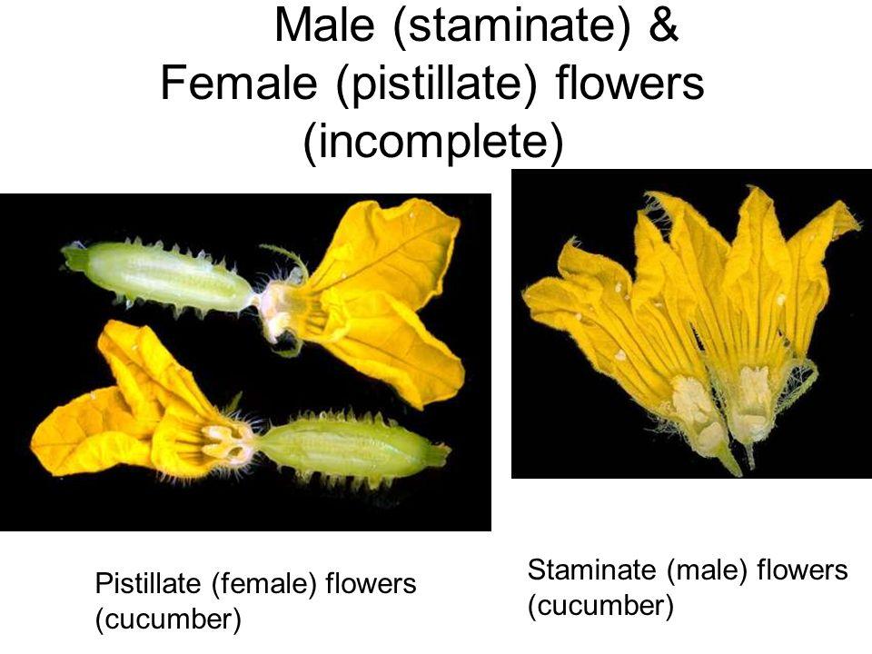 Male (staminate) & Female (pistillate) flowers (incomplete) Pistillate (female) flowers (cucumber) Staminate (male) flowers (cucumber)