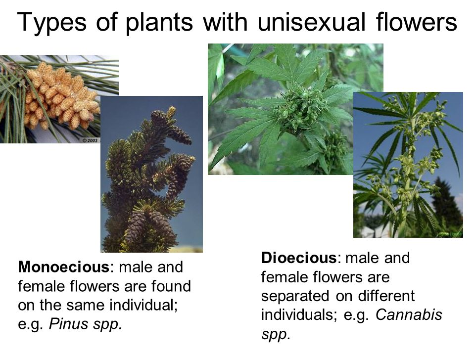 Types of plants with unisexual flowers Dioecious: male and female flowers are separated on different individuals; e.g. Cannabis spp. Monoecious: male