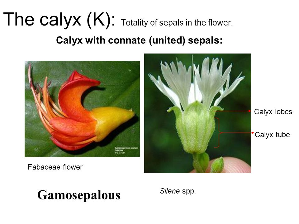 The calyx (K): Totality of sepals in the flower. Calyx with connate (united) sepals: Calyx tube Calyx lobes Silene spp. Fabaceae flower Gamosepalous