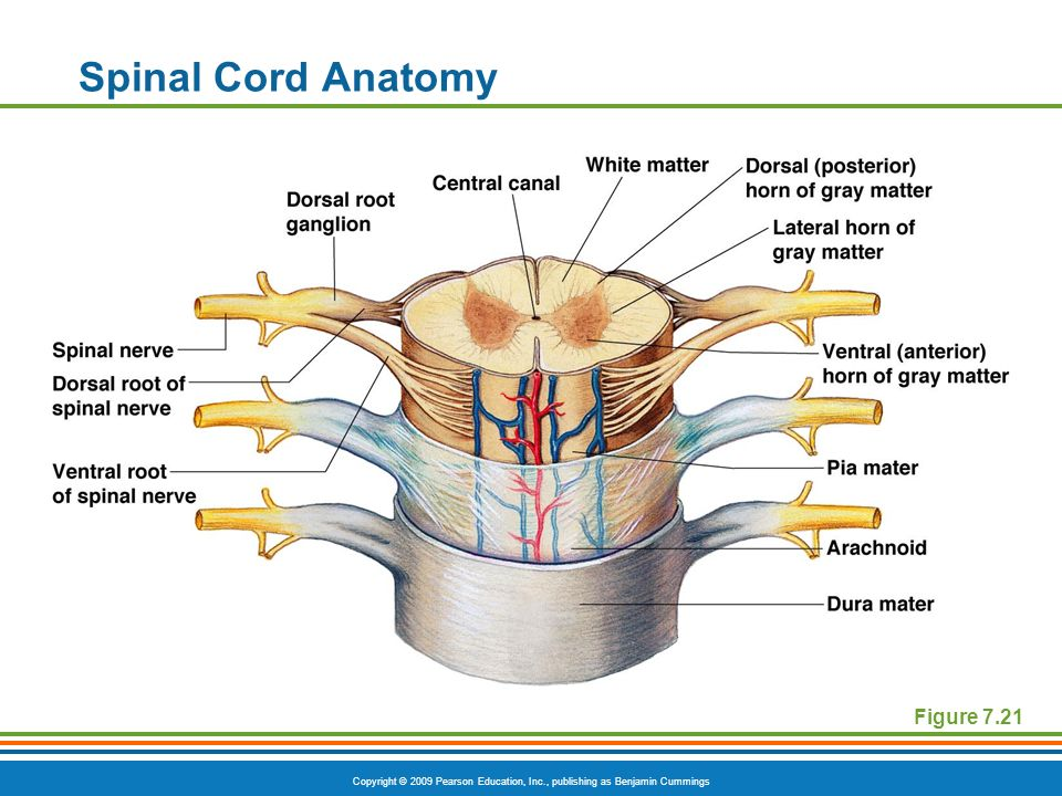 Copyright © 2009 Pearson Education, Inc., publishing as Benjamin Cummings Spinal Cord Anatomy Figure 7.21