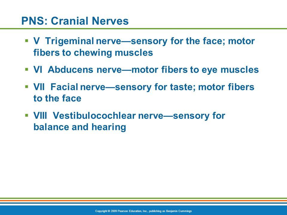 Copyright © 2009 Pearson Education, Inc., publishing as Benjamin Cummings PNS: Cranial Nerves V Trigeminal nervesensory for the face; motor fibers to