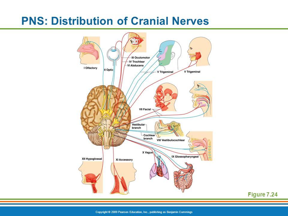Copyright © 2009 Pearson Education, Inc., publishing as Benjamin Cummings PNS: Distribution of Cranial Nerves Figure 7.24