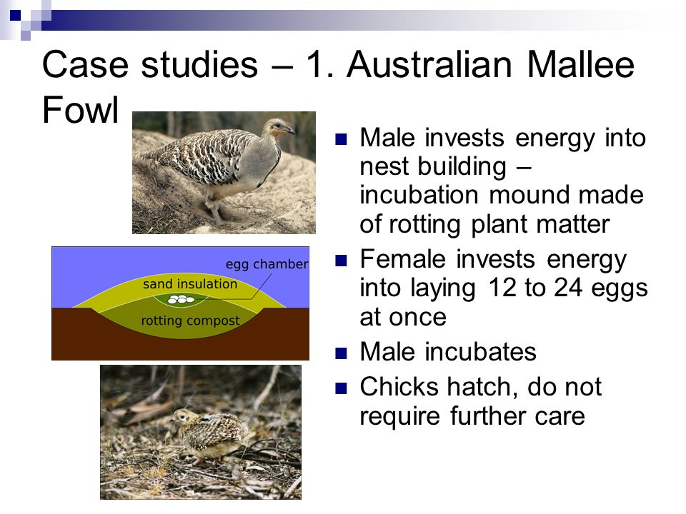 Case studies – 1. Australian Mallee Fowl Male invests energy into nest building – incubation mound made of rotting plant matter Female invests energy