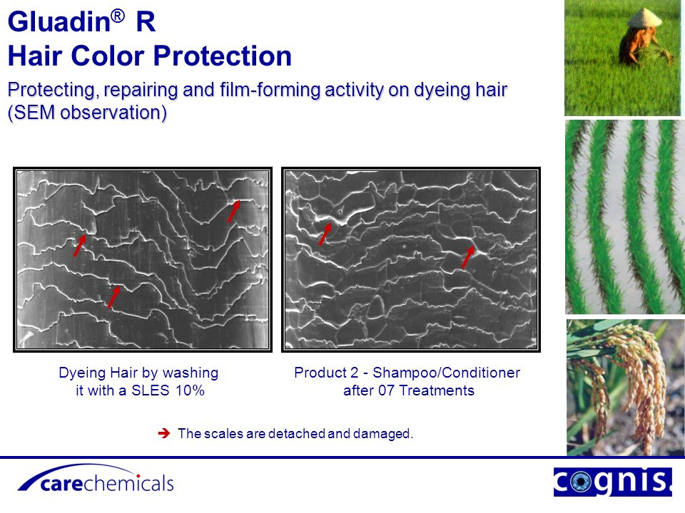 Product 1- Shampoo/Conditioner after 07 Treatments Dyeing Hair by washing it with a SLES 10% The scales are detached and damaged.