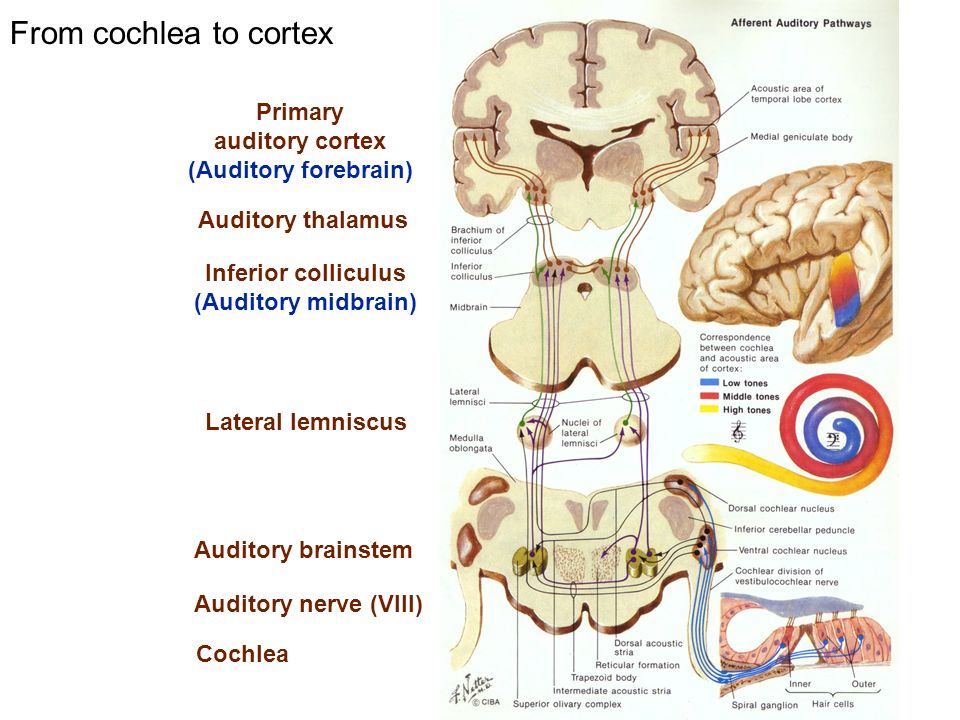 From cochlea to cortex Primary auditory cortex (Auditory forebrain) Auditory thalamus Inferior colliculus (Auditory midbrain) Auditory brainstem Cochl