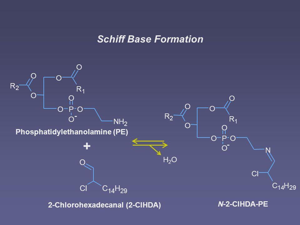 Schiff Base Formation + O OP - O O O NH 2 O O R 1 R 2 O Phosphatidylethanolamine (PE) C 14 H 29 O Cl 2-Chlorohexadecanal (2-ClHDA) 29 C 14 H Cl O OP - O O O N O O R 1 R 2 O N-2-ClHDA-PE H2OH2O