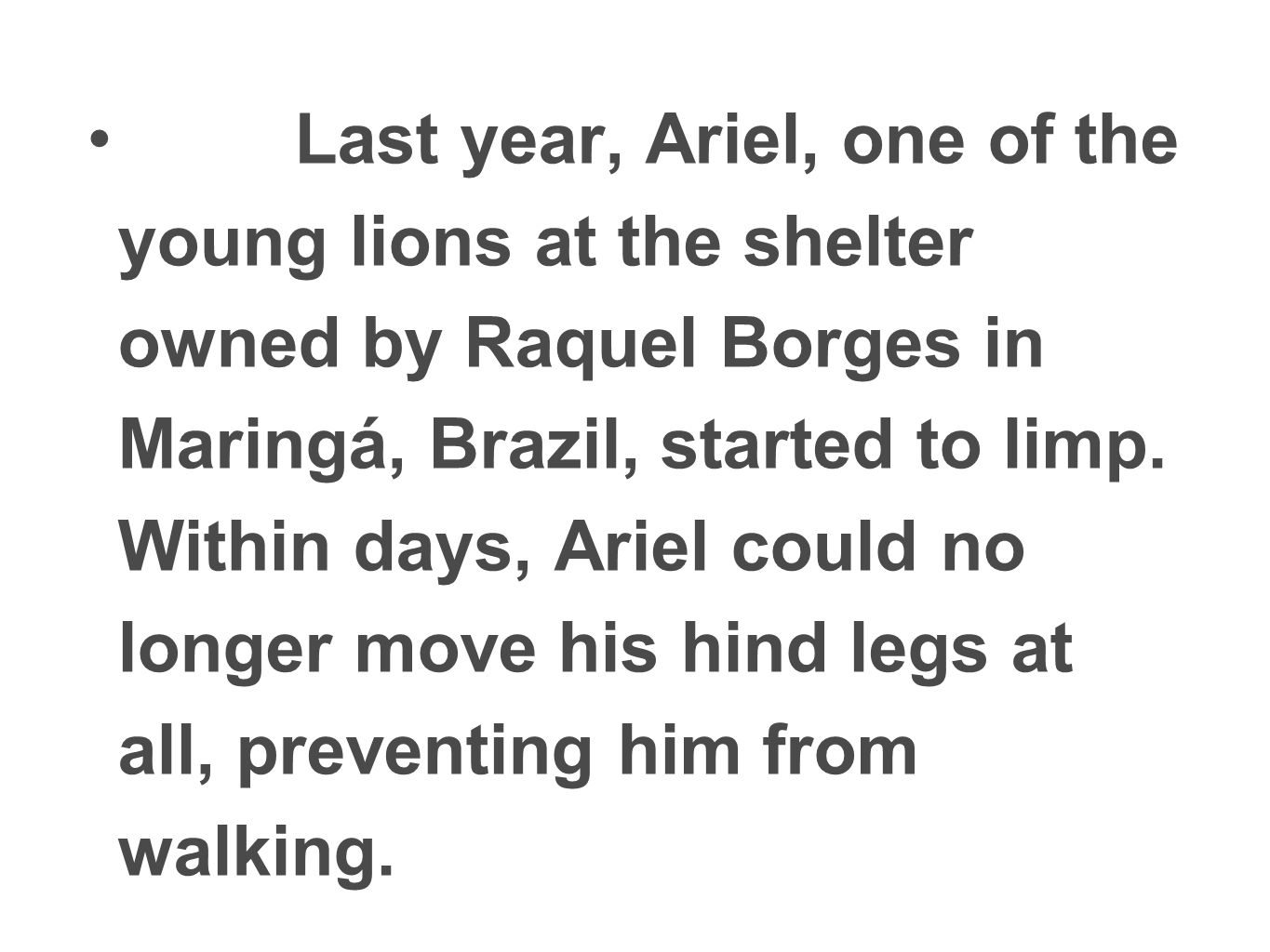 Last year, Ariel, one of the young lions at the shelter owned by Raquel Borges in Maringá, Brazil, started to limp. Within days, Ariel could no longer