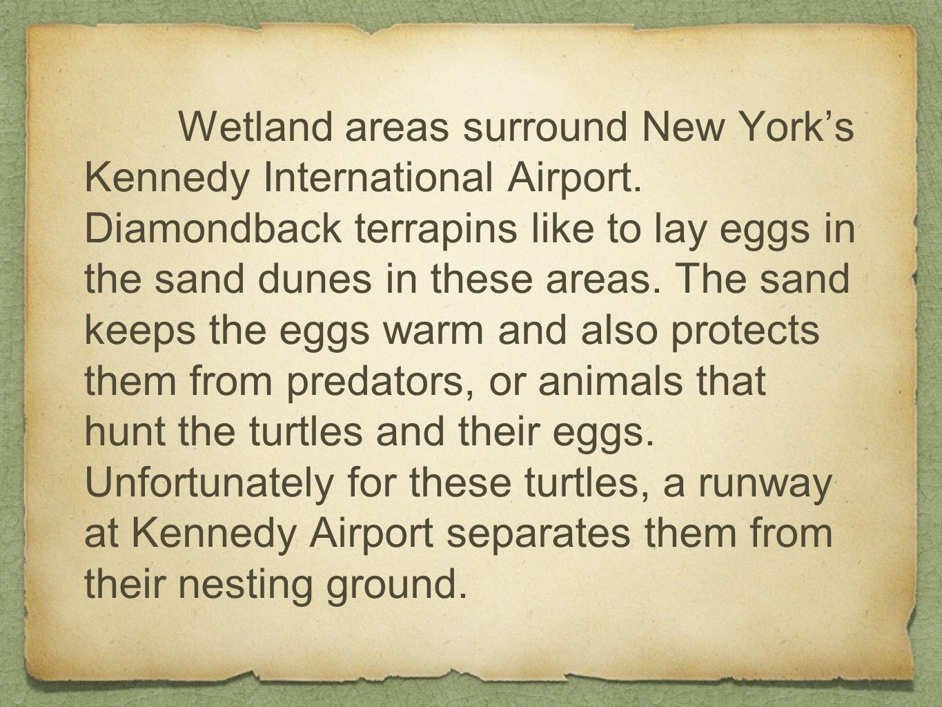 Wetland areas surround New Yorks Kennedy International Airport. Diamondback terrapins like to lay eggs in the sand dunes in these areas. The sand keep