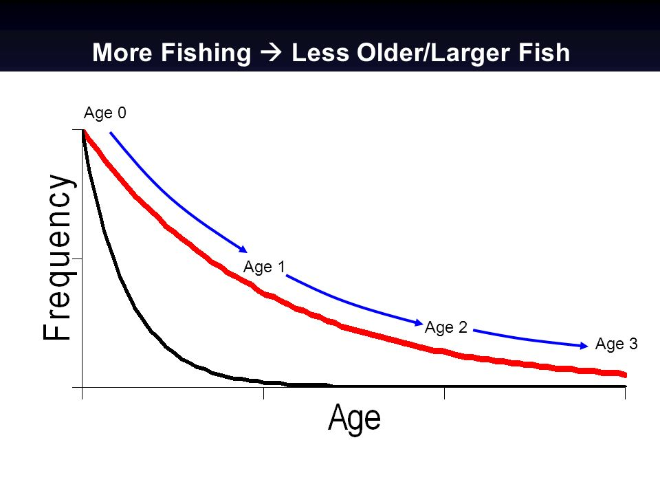More Fishing Less Older/Larger Fish Age 1 Age 2 Age 3 Age 0