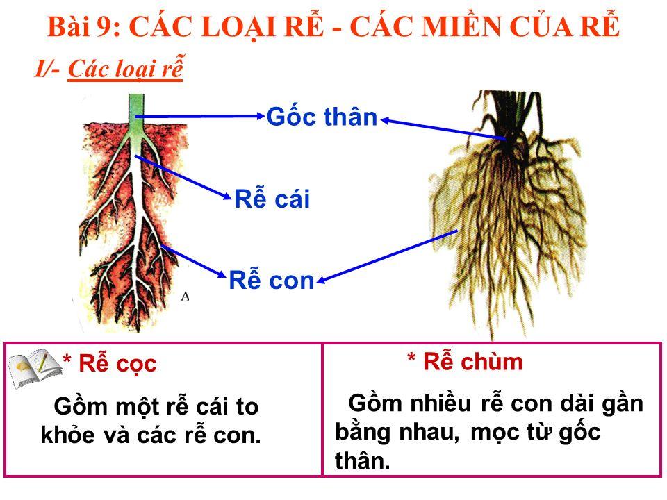 I/- Các loi r Bài 9: CÁC LOI R - CÁC MIN CA R * R cc * R chùm Gm mt r cái to khe và các r con.