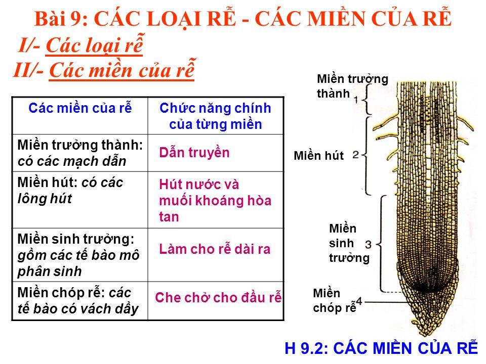 Bài 9: CÁC LOI R - CÁC MIN CA R I/- Các loi r II/- Các min ca r H 9.2: CÁC MIN CA R Min trưng thành Min hút Min sinh trưng Min chóp r Các min ca rChc năng chính ca tng min Min trưng thành: có các mch dn Min hút: có các lông hút Min sinh trưng: gm các t bào mô phân sinh Min chóp r: các t bào có vách dy Hút nưc và mui khoáng hòa tan Làm cho r dài ra Che ch cho đu r Dn truyn