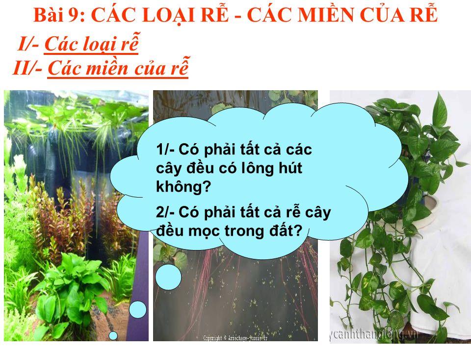 Bài 9: CÁC LOI R - CÁC MIN CA R I/- Các loi r II/- Các min ca r 1/- Có phi tt c các cây đu có lông hút không.
