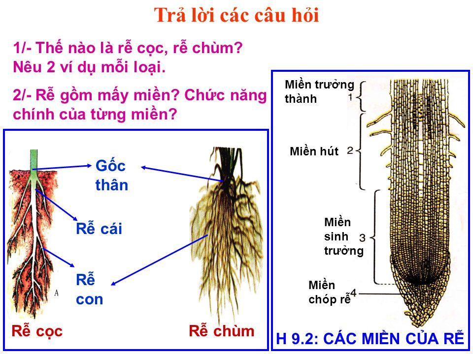 Tr li các câu hi H 9.2: CÁC MIN CA R Min trưng thành Min hút Min sinh trưng Min chóp r R cái R con Gc thân R ccR chùm 1/- Th nào là r cc, r chùm.