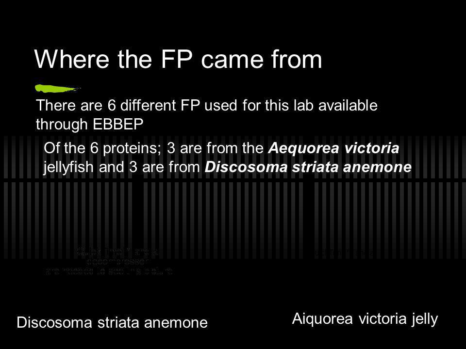 Where the FP came from There are 6 different FP used for this lab available through EBBEP Of the 6 proteins; 3 are from the Aequorea victoria jellyfis