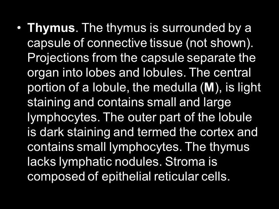 Thymus. The thymus is surrounded by a capsule of connective tissue (not shown). Projections from the capsule separate the organ into lobes and lobules