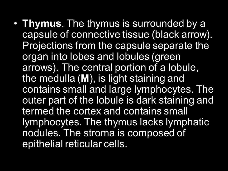 Thymus. The thymus is surrounded by a capsule of connective tissue (black arrow). Projections from the capsule separate the organ into lobes and lobul