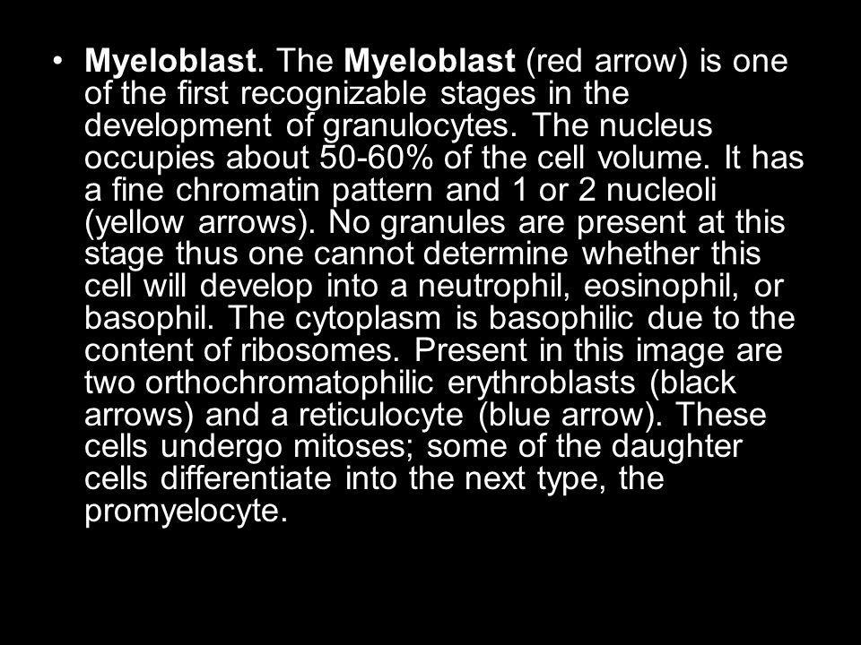 Myeloblast. The Myeloblast (red arrow) is one of the first recognizable stages in the development of granulocytes. The nucleus occupies about 50-60% o