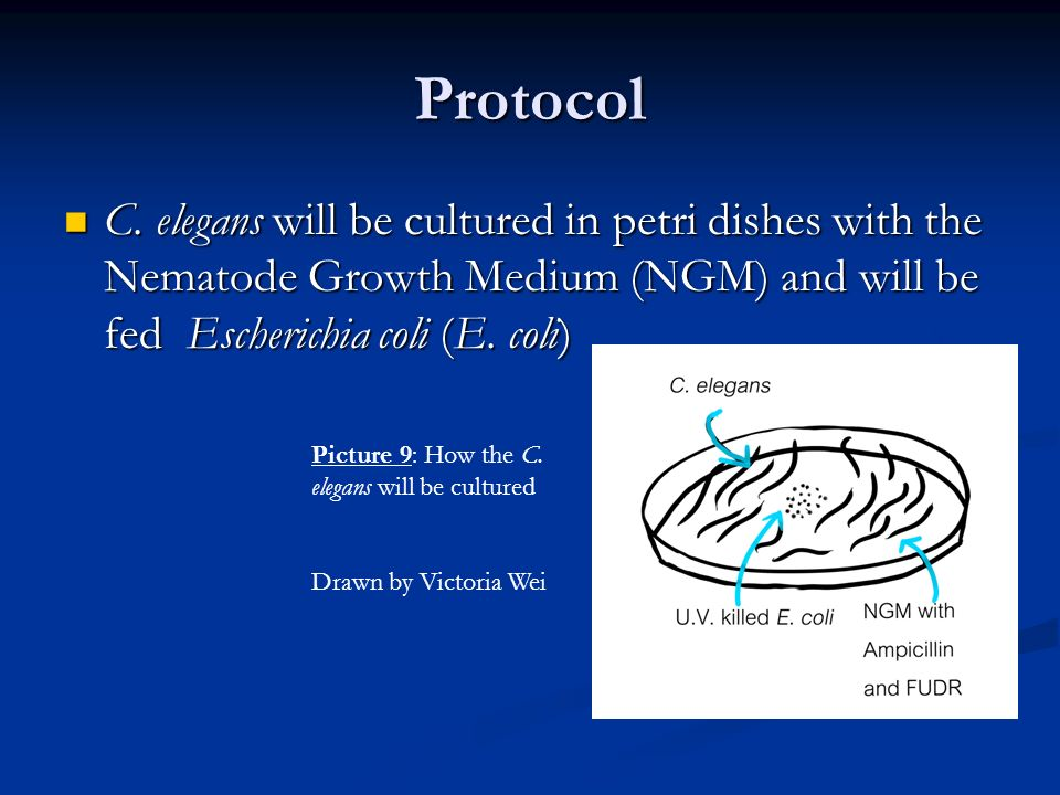Protocol C. elegans will be cultured in petri dishes with the Nematode Growth Medium (NGM) and will be fed Escherichia coli (E. coli) C. elegans will