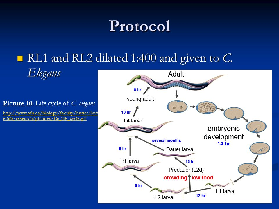 Protocol RL1 and RL2 dilated 1:400 and given to C. Elegans RL1 and RL2 dilated 1:400 and given to C. Elegans Picture 10: Life cycle of C. elegans http