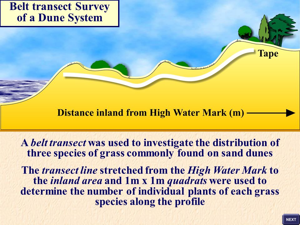 Belt transect Survey of a Dune System A belt transect was used to investigate the distribution of three species of grass commonly found on sand dunes