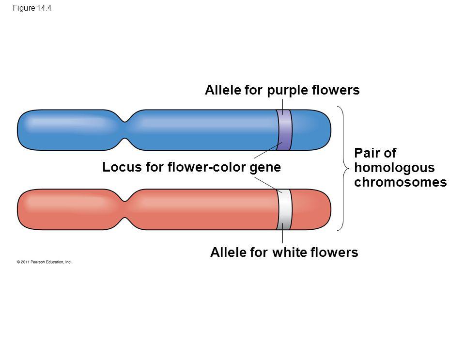 Figure 14.4 Allele for purple flowers Locus for flower-color gene Allele for white flowers Pair of homologous chromosomes