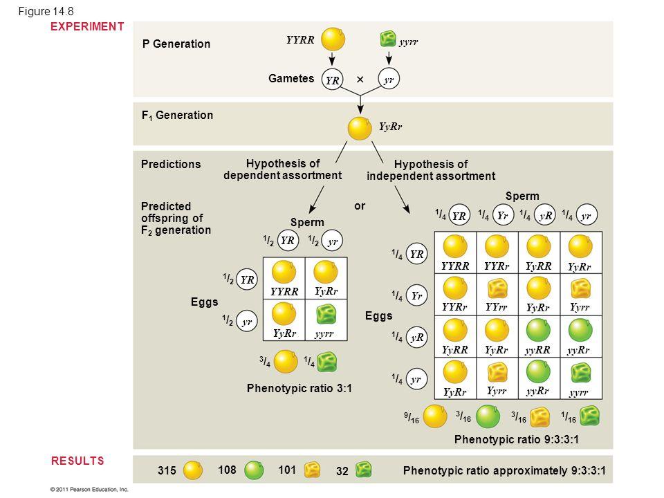 Figure 14.8 P Generation F 1 Generation Predictions Gametes EXPERIMENT RESULTS YYRR yyrr yr YR YyRr Hypothesis of dependent assortment Hypothesis of i