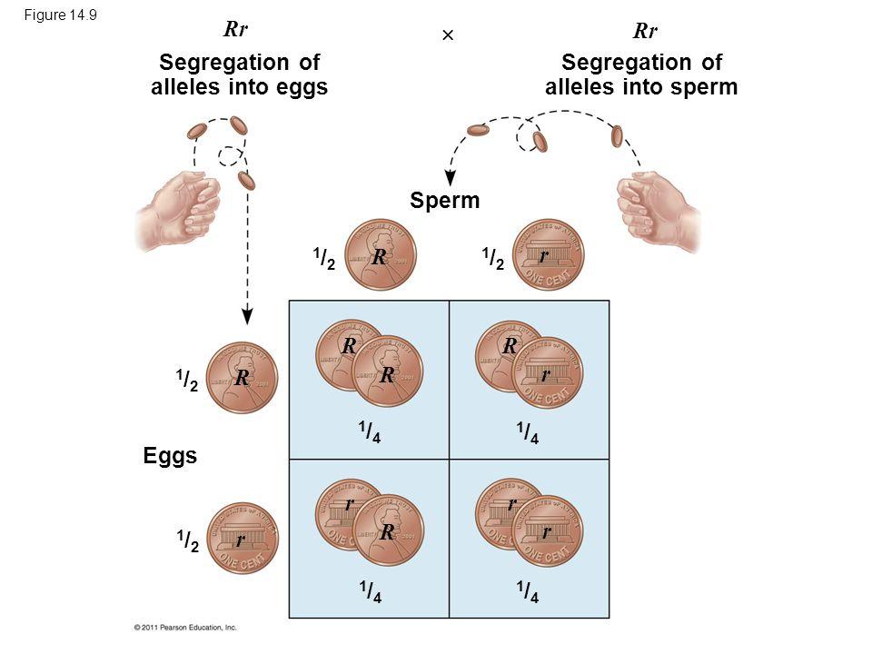 Figure 14.9 Segregation of alleles into eggs Segregation of alleles into sperm Sperm Eggs 1/21/2 1/21/2 1/21/2 1/21/2 1/41/4 1/41/4 1/41/4 1/41/4 Rr R
