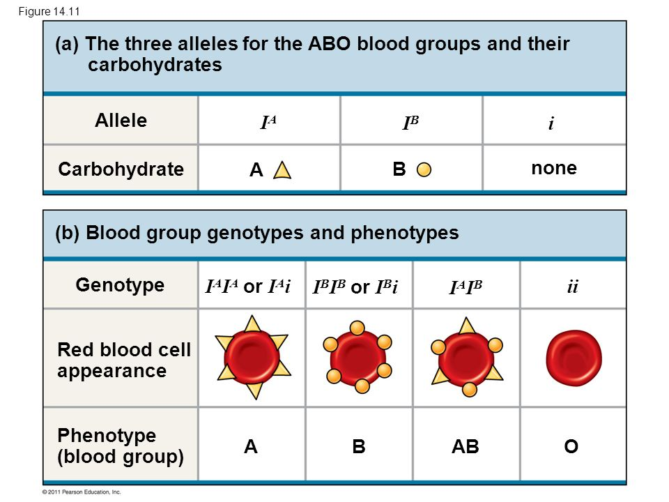 Figure 14.11 Carbohydrate Allele (a) The three alleles for the ABO blood groups and their carbohydrates (b) Blood group genotypes and phenotypes Genot