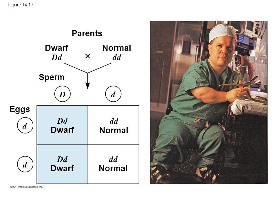 Figure 14.17 Parents Dwarf Dd Sperm Eggs Dd Dwarf dd Normal Dd Dwarf dd Normal D d d d Normal dd