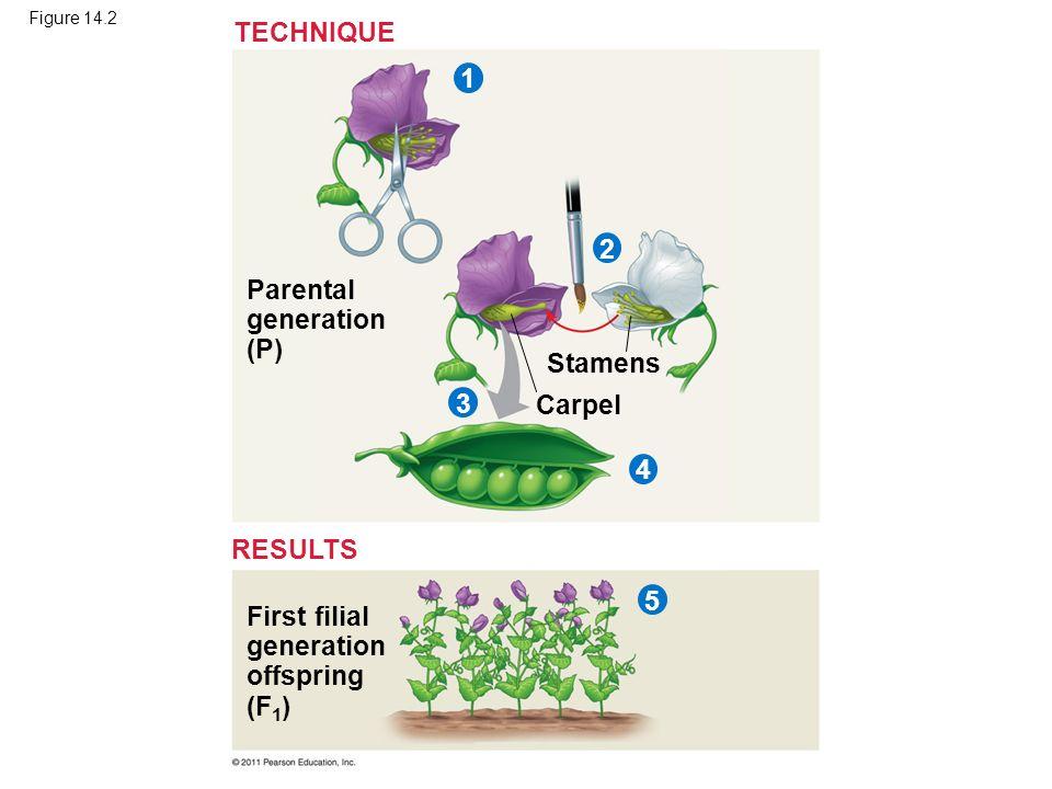 Figure 14.2 Parental generation (P) Stamens Carpel First filial generation offspring (F 1 ) TECHNIQUE RESULTS 32145
