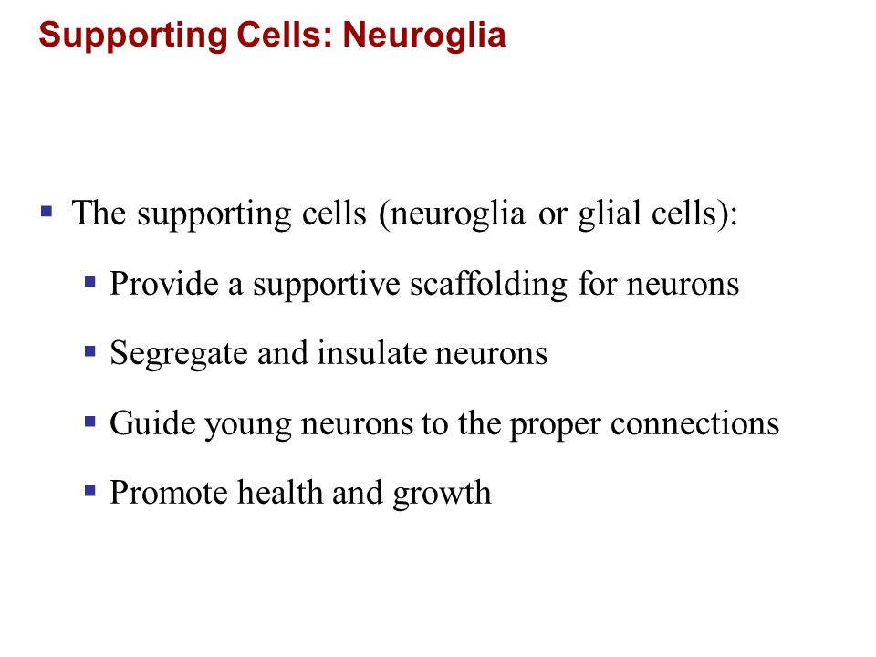 The supporting cells (neuroglia or glial cells): Provide a supportive scaffolding for neurons Segregate and insulate neurons Guide young neurons to th
